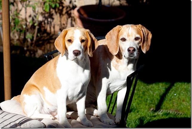 Beagle Brigade sept 2010 ENGE-128